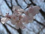 監物台樹木園の桜(3月10日・その2)