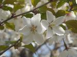 北大植物園の桜(その1)