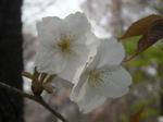 北大植物園の桜(その2)