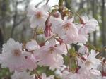 北大植物園の桜(その3)