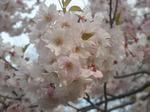 北大植物園の桜(その4)