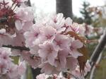旭山記念公園の桜(その1)