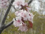 旭山記念公園の桜(その2)