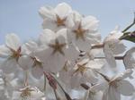 北海道神宮の桜(その1)