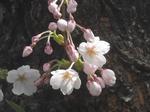 北海道神宮の桜(その2)