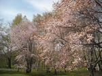 真駒内公園の桜(その1)