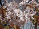 真駒内公園の桜(その2)