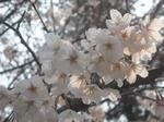 桜(2011年3月29日・監物台樹木園)