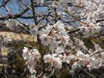 エドヒガンザクラの花