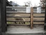 羊飼育中(その1)