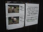 羊飼育中(その2)