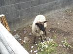 羊飼育中(その3)