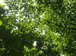 若葉と木漏れ日(5月14日)
